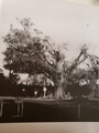 昭和57年8月の台風で折れた 遊行寺大銀杏