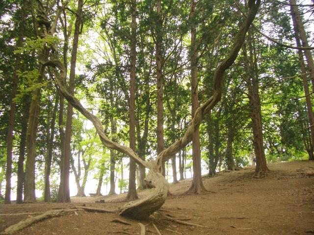 宝登山山頂のパワフルな木