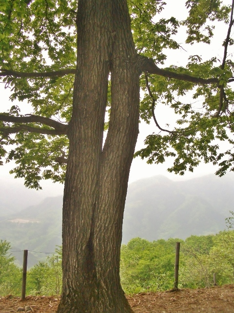 宝登山神社山頂 ロマンチックな木