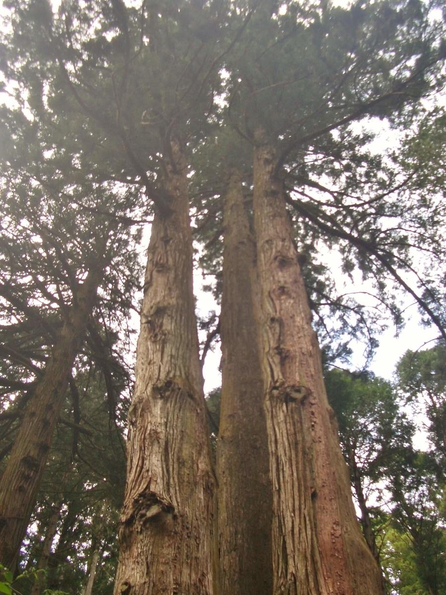 御岩神社 御神木 三本杉