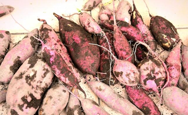 さつま芋 秋の味覚