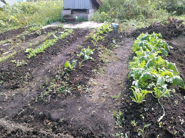1年目秋の家庭菜園の作付け状況の写真