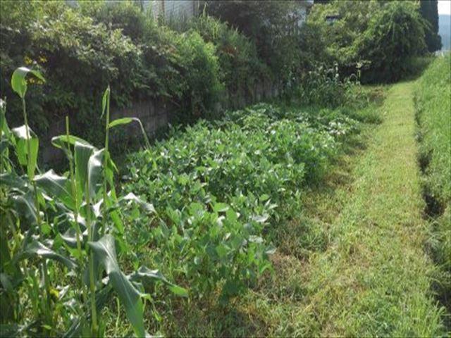家庭菜園2年目畑夏の状況写真