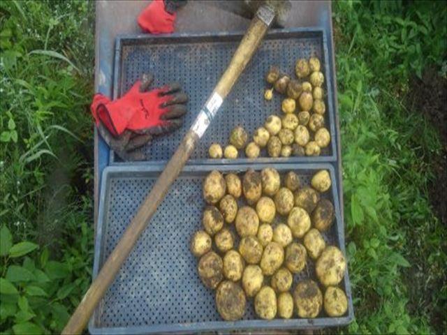 2年目畑ジャガイモ収穫状況の写真
