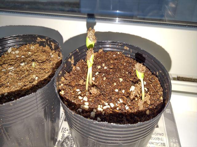 小玉スイカの発芽の写真