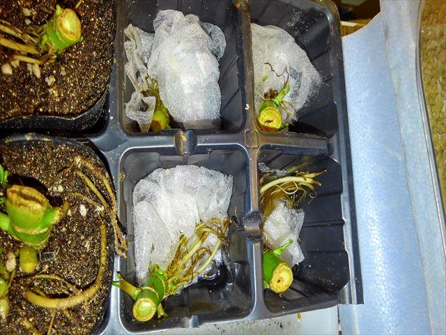 セリの根の水耕栽培の写真