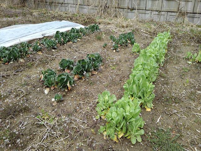 収穫前の白菜の菜の花の写真