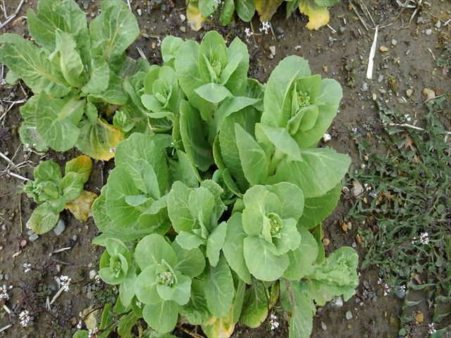 白菜の菜の花アップの写真
