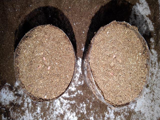 ペットボトル栽培ニンジン種まき