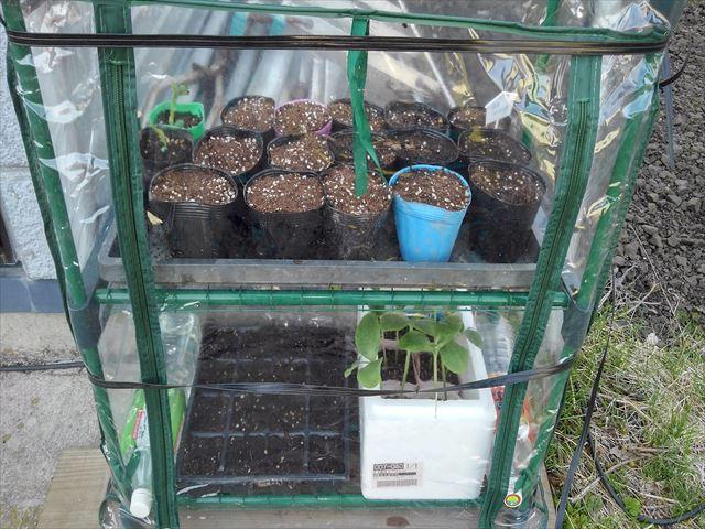 トウモロコシの育苗(下段左)