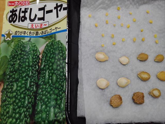 ゴーヤ、バターナッツ、ズッキーニの芽出し