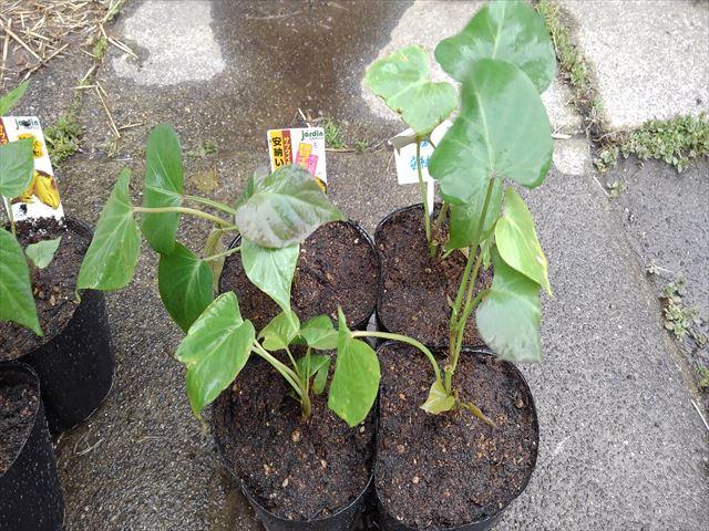 サツマイモの苗をポリポットに移し替え