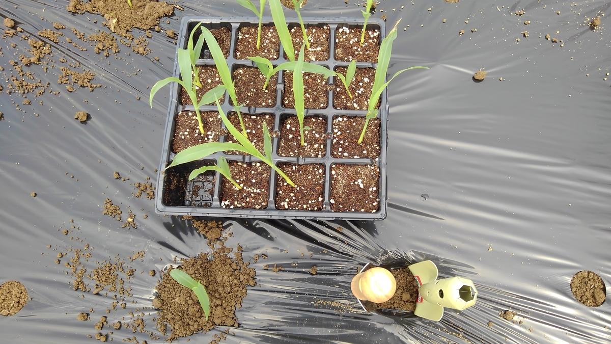 トウモロコシの植え付け