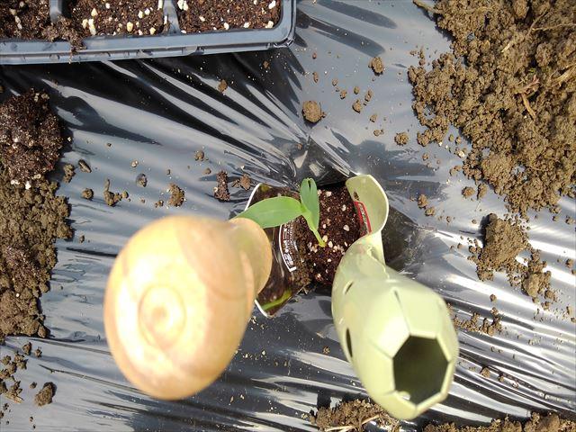 トウモロコシを植穴に移植
