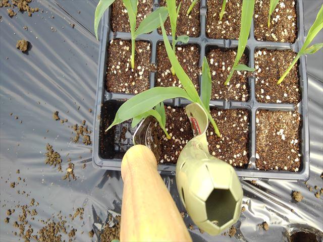 トウモロコシをセルトレイから移植ゴテで取り出し