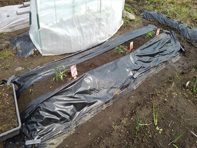 トマト植え付け後