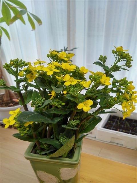 良い香りの菜の花