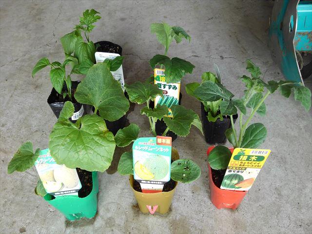 メネデールでブクブク植えした苗たち