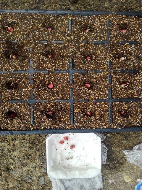 トウモロコシ発芽処理の結果