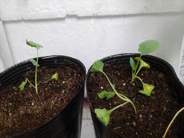 メネデール使用後の茎ブロッコリーの挿し木苗