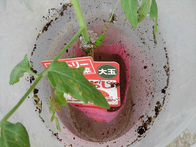 トマトのブクブク植え