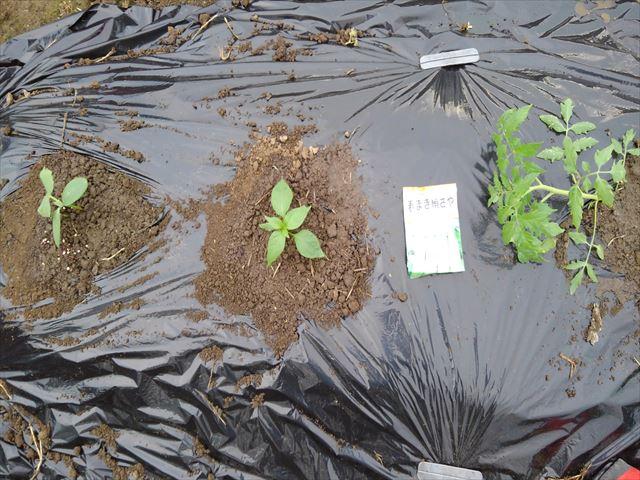 超密植ミニ菜園に植え付け