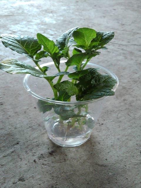 ジャガイモの芽(メネデール100倍希釈液)