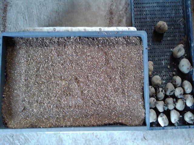 育苗箱に種まき培土を薄く敷く