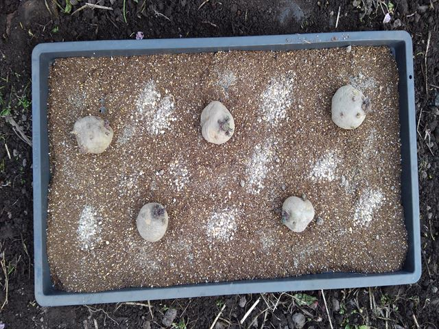 イモの間に肥料をまく