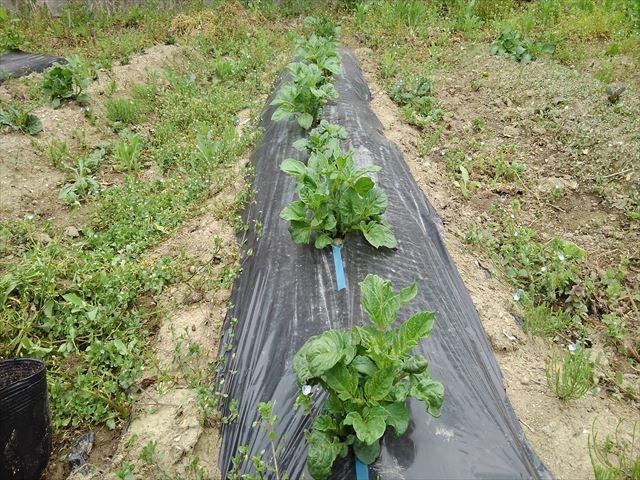 ジャガイモ超浅植えマルチ栽培芽かき前