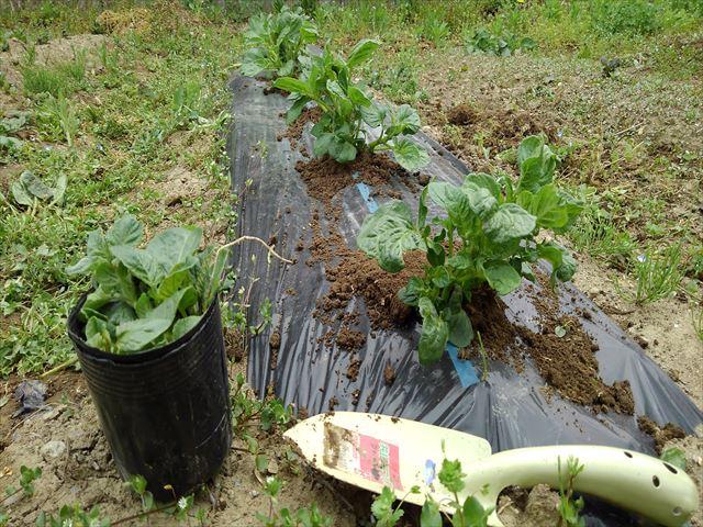 ジャガイモの超浅植えマルチ栽培芽かき後