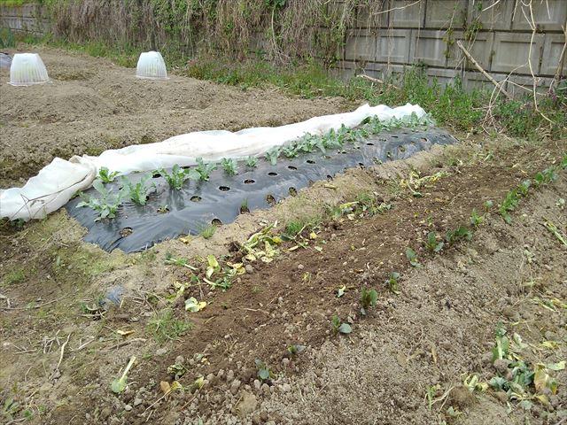 ジャガ芽挿し栽培植え付け