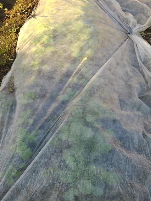 根菜混植畝(大根と小カブが元気に育っている)