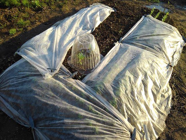 超密植ミニ菜園の追肥はどうしようかな。