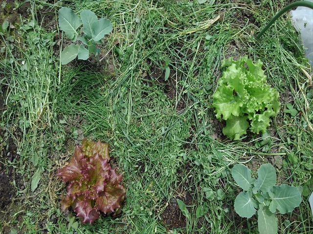 スギナと雑草の草マルチ