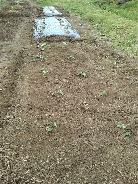 サツマイモの植え付け第1弾