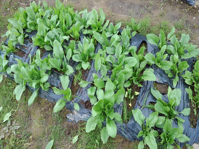 収穫後のほうれん草の畝