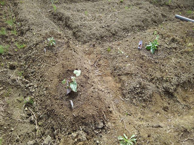 苗取用のサツマイモの苗