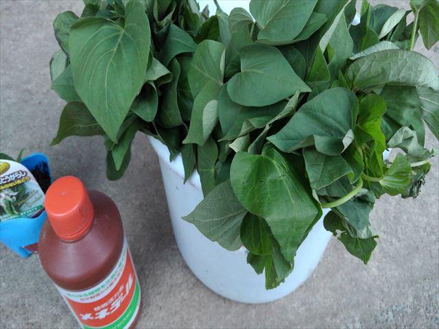 サツマイモの苗をメネデール100倍希釈液に浸ける