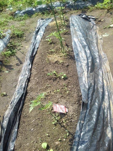バオバブ状態のトマト
