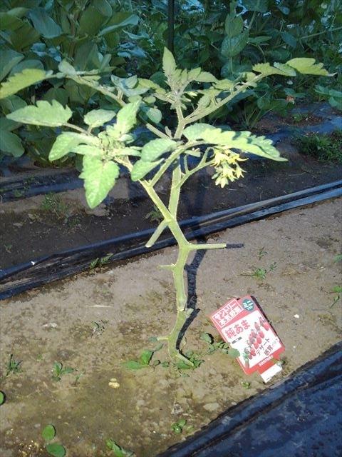 元気なバオバブトマト