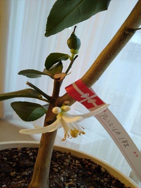 今日咲いたレモンの花と、1個だけになってしまったレモンの実