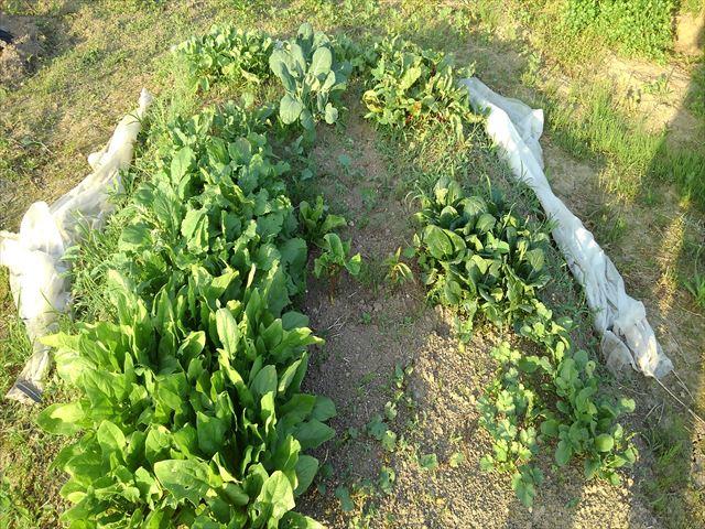 超密植ミニ菜園(左手前がほうれん草)