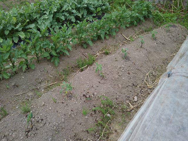 今日のジャガ芽挿し栽培の状況(左上の部分です)