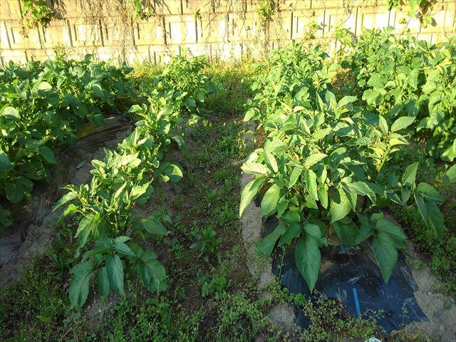 ジャガイモの超浅植えマルチ栽培の様子
