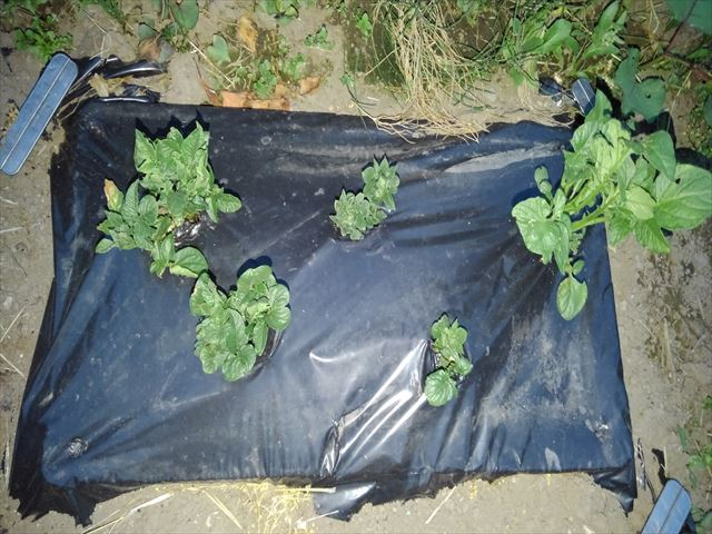 ジャガイモの育苗箱黒マルチ栽培
