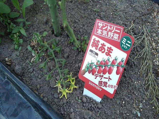 ミニトマトの第一花房摘み取り後