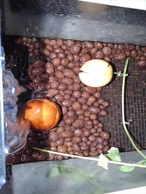 水槽栽培でのアボカドの芽出し