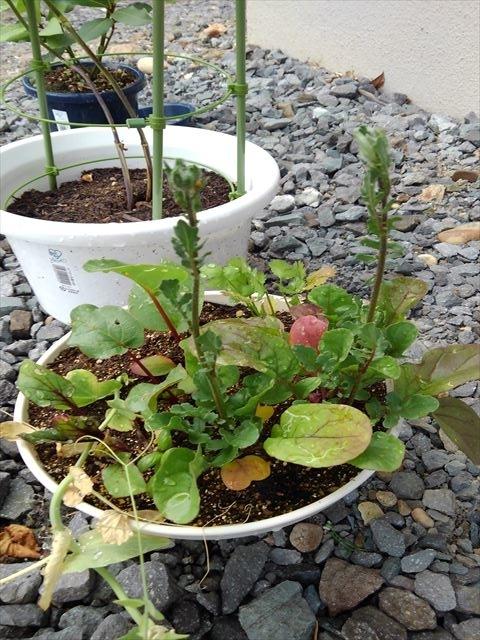 ルッコラ収穫前の新手の寄せ植え