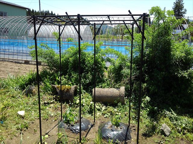 メロンの空中栽培(果物棚設置後)